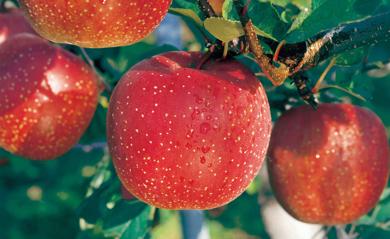 こだわりの栽培法と自然の力で育った江刺りんご